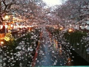 近所だったので歩いて行った。目黒川の桜はほんときれい。