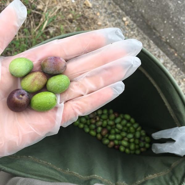 小豆島でのオリーブ摘みも2回目ともなると慣れたもの!いっぱいとりました。